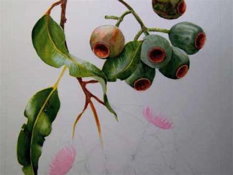 helens botanical  ficifolia tip  youtube