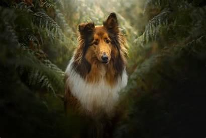 Dog Collie Fern Rough Grayscale Shetland Background