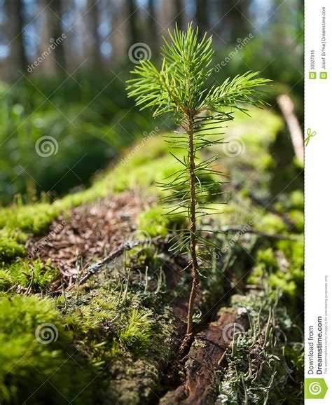 spruce sapling royalty  stock image image