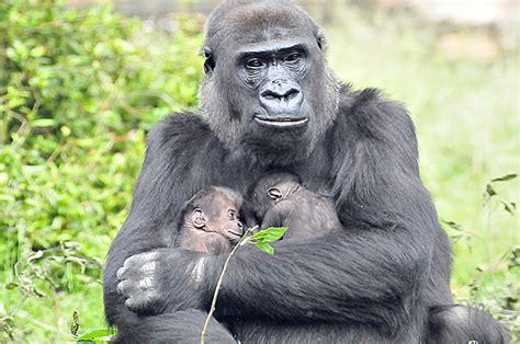 gorilla harambe zoo gorillas lose twins put sabine bresser protective fierce wild fire gun animal