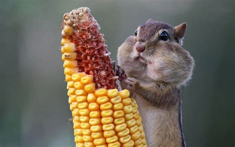 picture of a chipmunk eating corn hd animals wallpapers