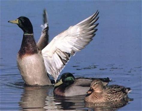 cuisiner un canard sauvage le canard et la canne