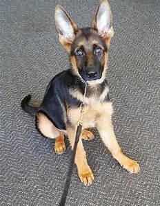 Ira World Class Male German Shepherd Puppy Man39s Best