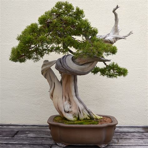 normal shape   tree raw bonsai