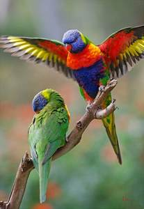 Australian Rainbow Lorikeet Birds