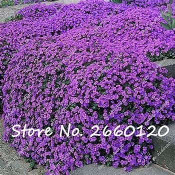 colorful ground cover 100 pcs colorful rock cress seeds or creeping thyme seeds