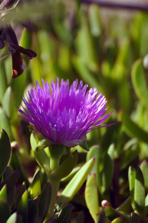 piede fiori piede di porco in fiore foto immagini piante fiori e
