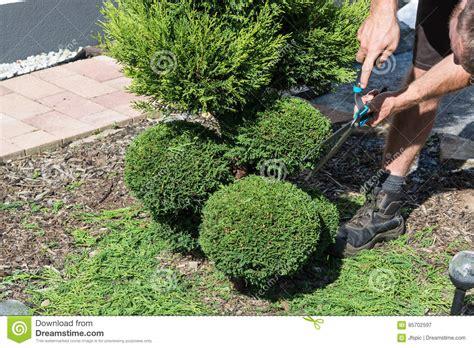 wann schneidet thuja beste wann schneidet buchsbaum idee waru