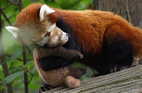 red panda bear nat geo adventure
