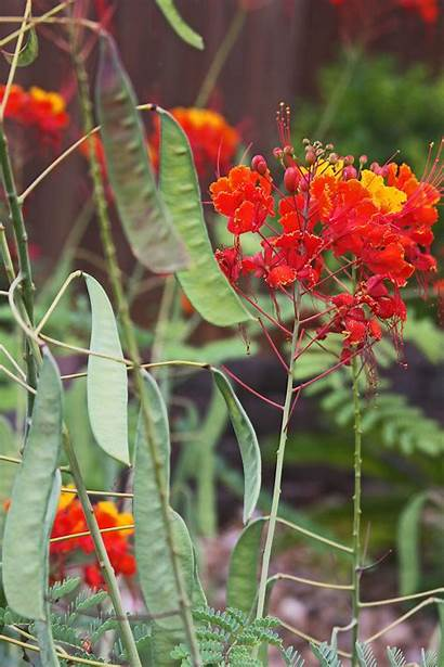 Barbados Pride Seed Pods Fall Blooms Cutback