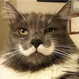 hamilton the cat hamilton cat themustachecat