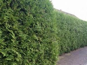 Thuja Brabant Oder Smaragd : pflanzen mit anwachsgarantie gartenpflanzen direkt kaufen schneller versand ~ Orissabook.com Haus und Dekorationen