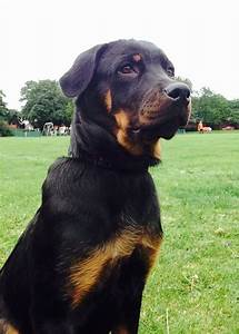 Female Rottweiler puppy | Normanton, West Yorkshire ...