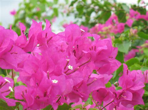 bougainvillea colors bougainvillea mexican colors 161 viva m 233 xico
