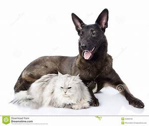Mixed Breed Dog And Persian Cat Together. Stock Photo ...