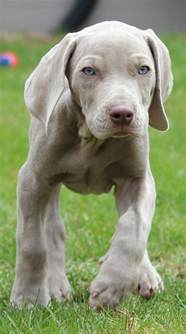 best 25 blue weimaraner ideas on pinterest blue