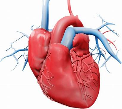 Heart System Circulatory Clipart Transparent Cardiac Interventional