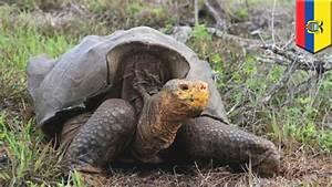 Endangered Galapagos Giant Tortoise Saved From Extinction