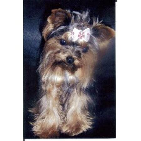 Bordermount Yorkies Yorkshire Terrier Breeder In Niagara