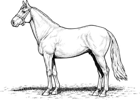 horse stallion coloring page  printable coloring pages