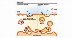 Scientists Say  Exocytosis