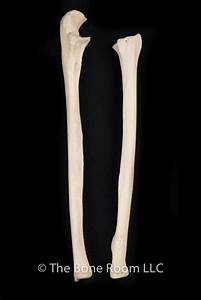 How To Differentiate The Ulna And The Radius Bones In A