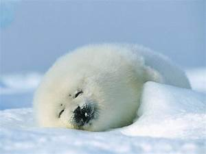 sleeping smiling baby harp seal | HARP SEALS ~ OTHERS ...