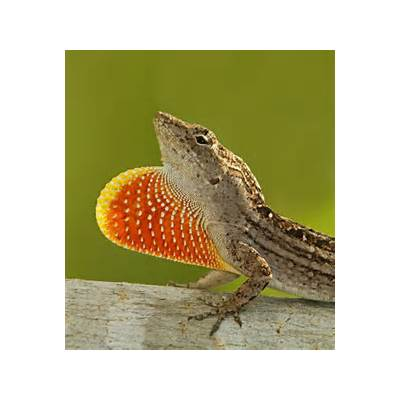 1000  images about Fan-throated Lizards on PinterestLizards Iguanas and The lizard