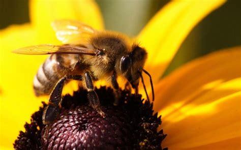 honey bee species beekeeping