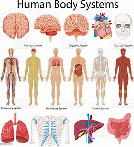Diagram Showing Human Body Systems Stock Illustration