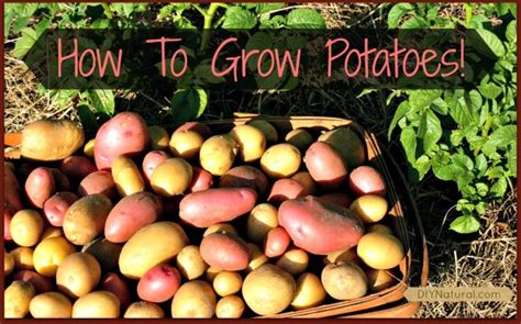 how to grow potatoes how to grow potatoes from eye to harvest it s so easy