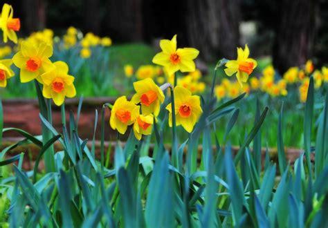 grow  care  daffodils