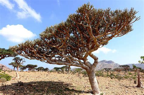 boswellia sacra tree endemic flora socotra cz