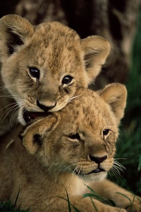 1989 Best Images About Wild Animals On Pinterest Tiger