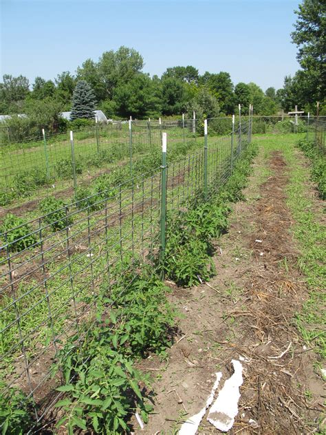 Tomato Cages, Stakes Or Trellises Which Is Best For
