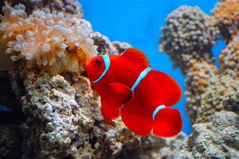 maroon clownfish fish laboratory