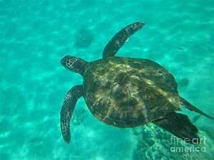 Hawaiian Green Sea Turtle Photograph by Sean Griffin