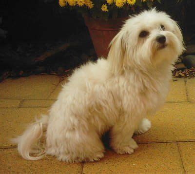 maltese    small breeds  hairy coated