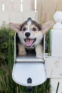 Special Delivery! | | Cute Pembroke Welsh Corgi puppy ...