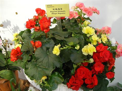 Paul's Tuberous Begonias Are Truly