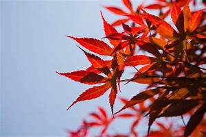 Baum Mit Roten Blättern : kostenlose foto baum ast himmel sonnenlicht blatt blume rot herbst flora jahreszeit ~ Eleganceandgraceweddings.com Haus und Dekorationen