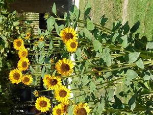 haebaragi - 24434 - Korean common name - Helianthus annuus