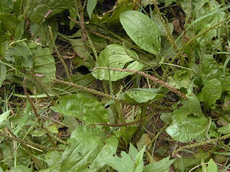 mosquito plant scientific name photo 3 of 50 album foraging in prospect park sept 02 2000