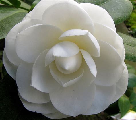 camellia white express love through flowers flowers magazine