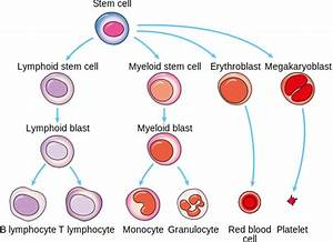Producing New Blood Cells  U2013 Why Reading The Recipe Matters - Cancer Research Uk