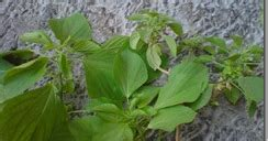 tanaman herbal asam urat  mengobati penyakit