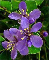 jamaican national flower google search jamaica fruit