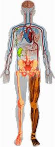 Human Body Systems Diagrams