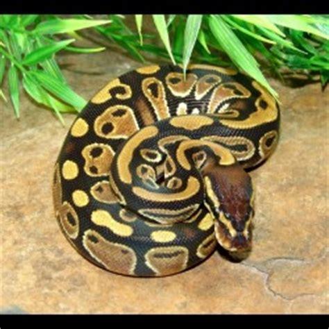 ball pythons python regius