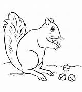 Acorn Coloring Squirrel Pages Printable Adults sketch template